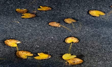 Freezing Pond Lillies