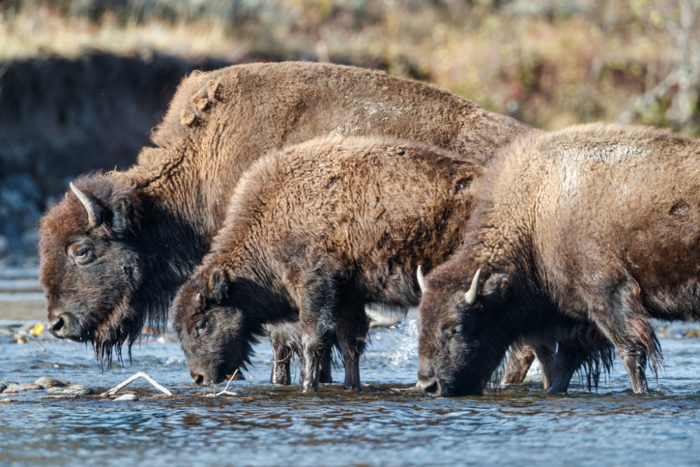 Bison drinking in Slough Creek, Yellowstone National Park, Wyoming, USA.