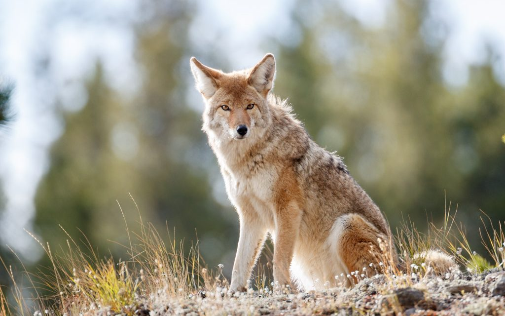 Mythic Coyote