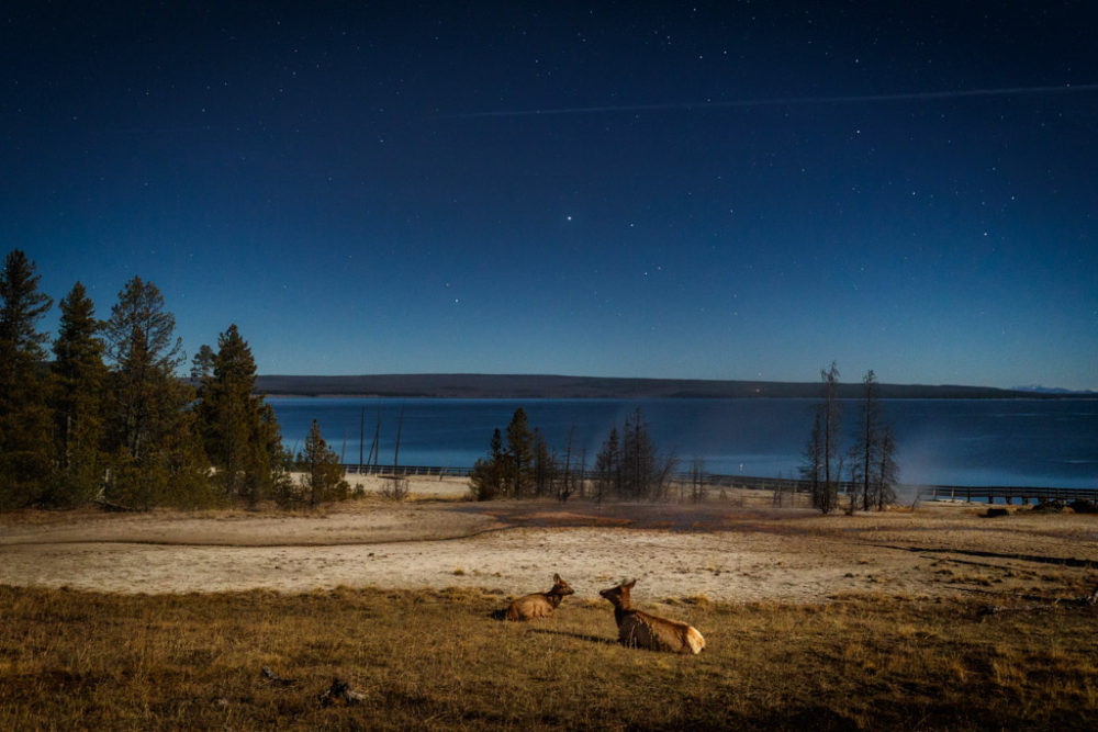 Elk bedded down in West Thumb Geyser Basin under night stars, Yellowstone National Park, Wyoming, USA.