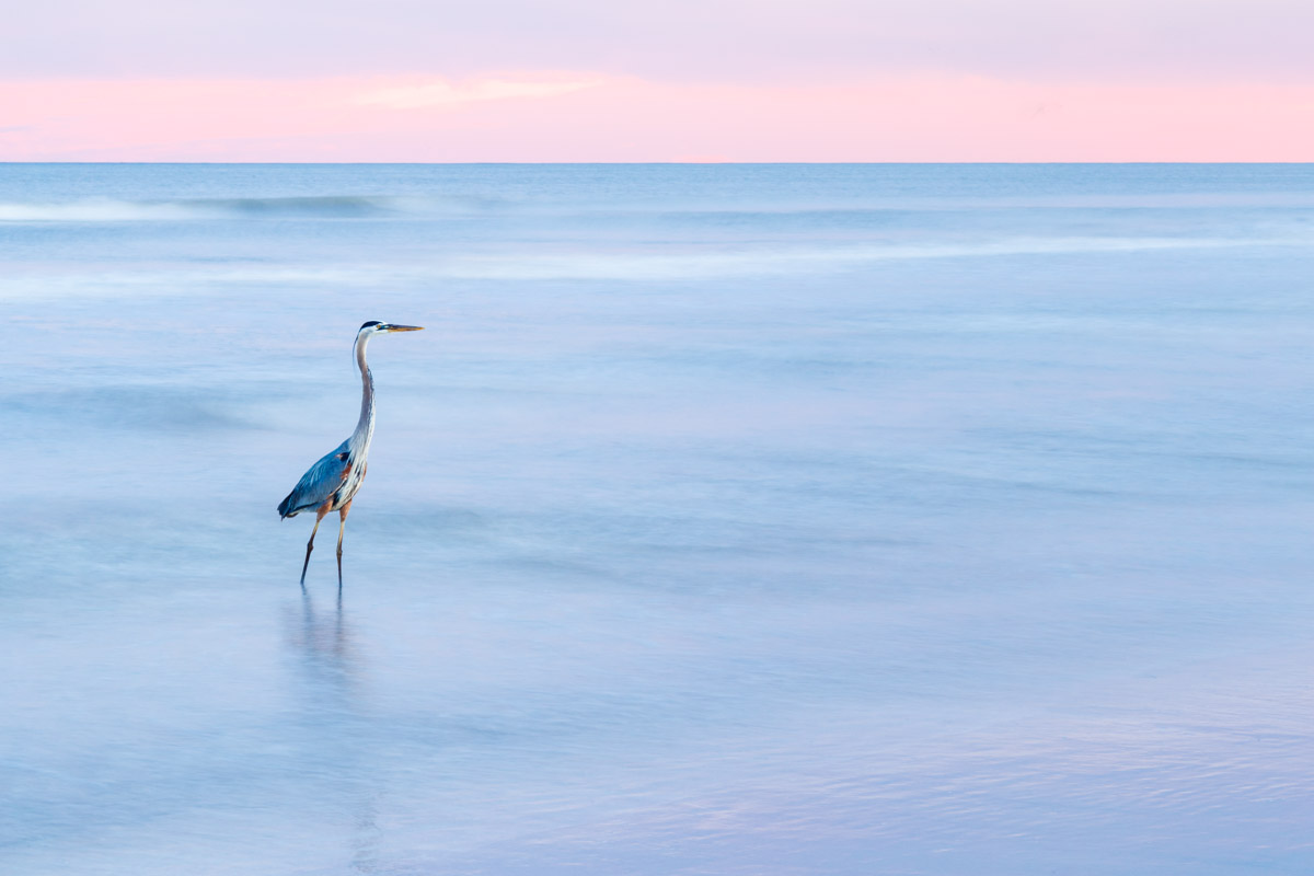 Great blue heron (Ardea herodias) on beach at pastel-colored sunset on Gulf of Mexico, Galveston Island State Park, Galveston, Texas, USA