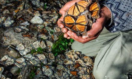 Endangered Monarchs