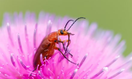 Beetle in Thistle