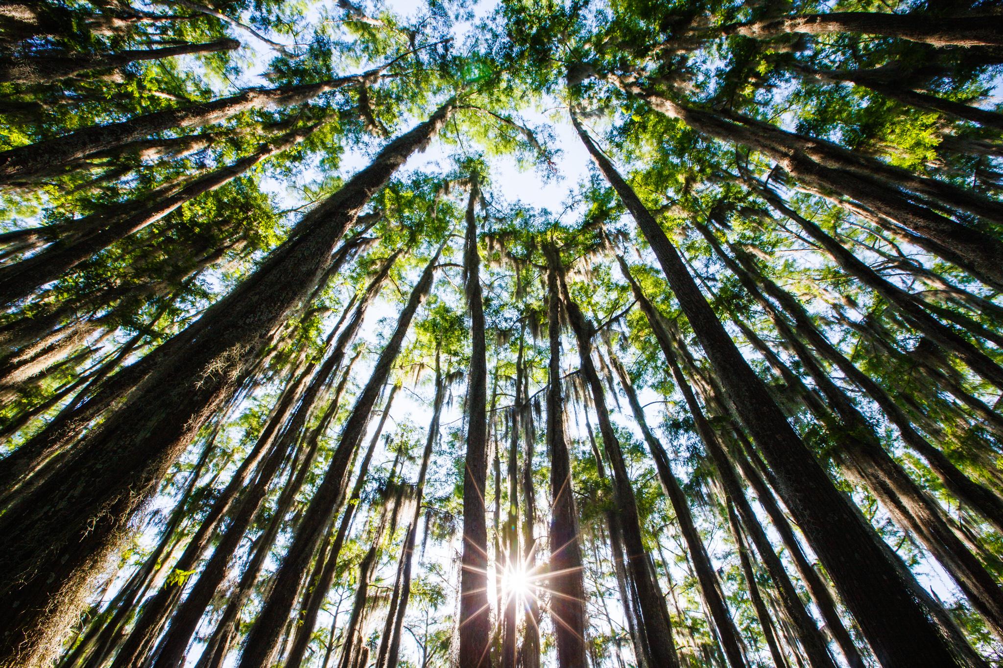 Caddo Lake Trees