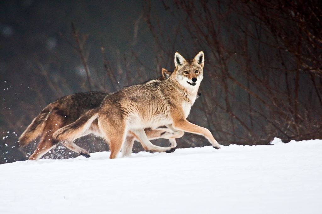 Coyotes Running