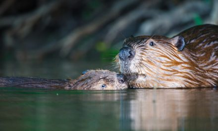Fun with Beavers
