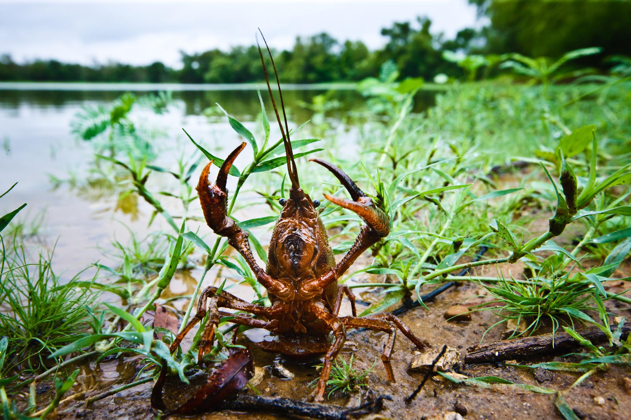 Crayfish, Crawfish, Crawdaddy, Mudbug
