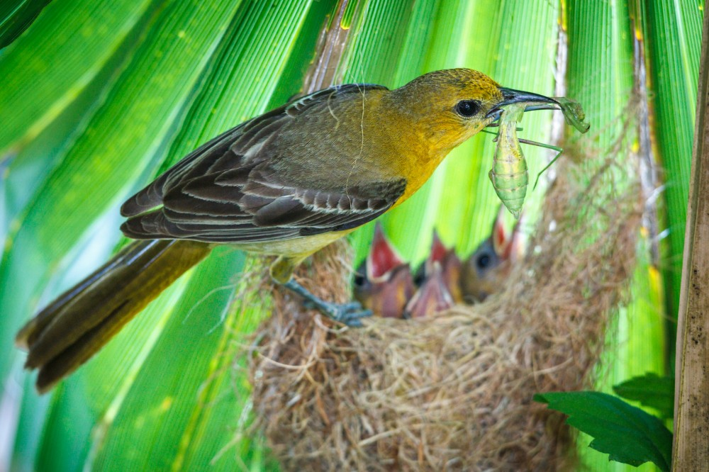 Female Oriole on Nest