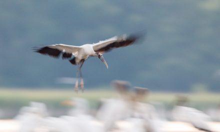 Wood Storks are Back