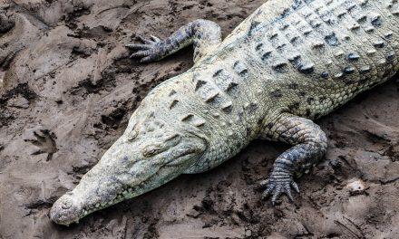 Crocodile Aerial