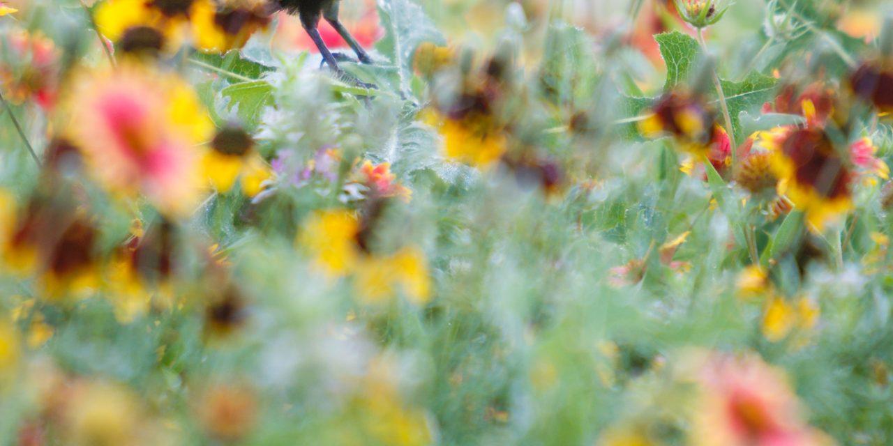 Blackbird on Wildflowers