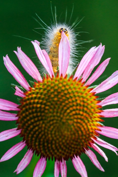 Caterpillar on Purple Coneflower