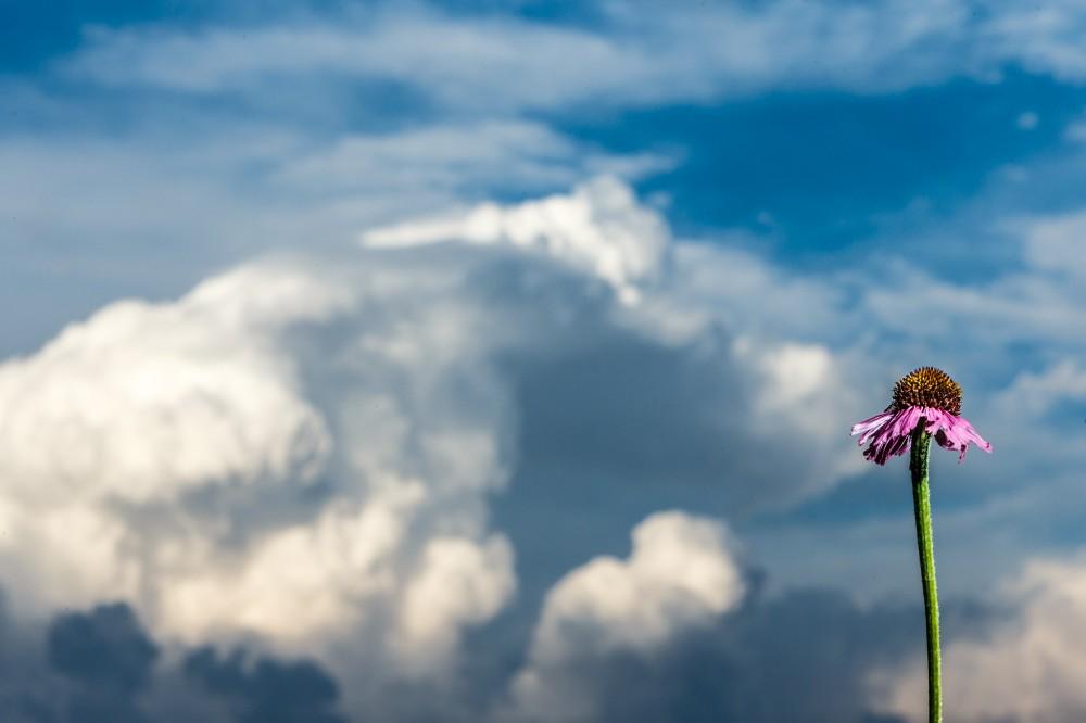 Purple Coneflower on Blackland Prairie