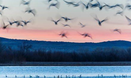 Bosque Snow Geese