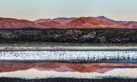 Snow Goose Panorama