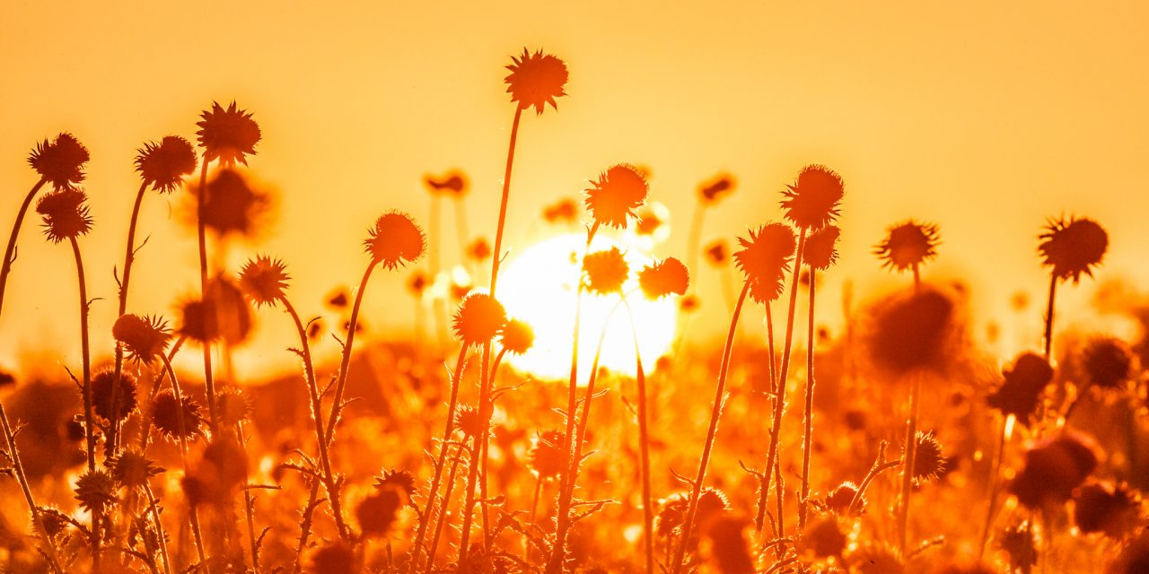 Thistles in Setting Sun