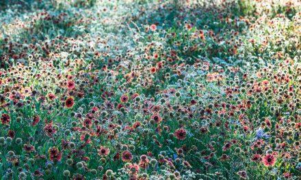 Backlit Wildflowers at Big Spring