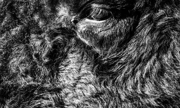Bison Eye