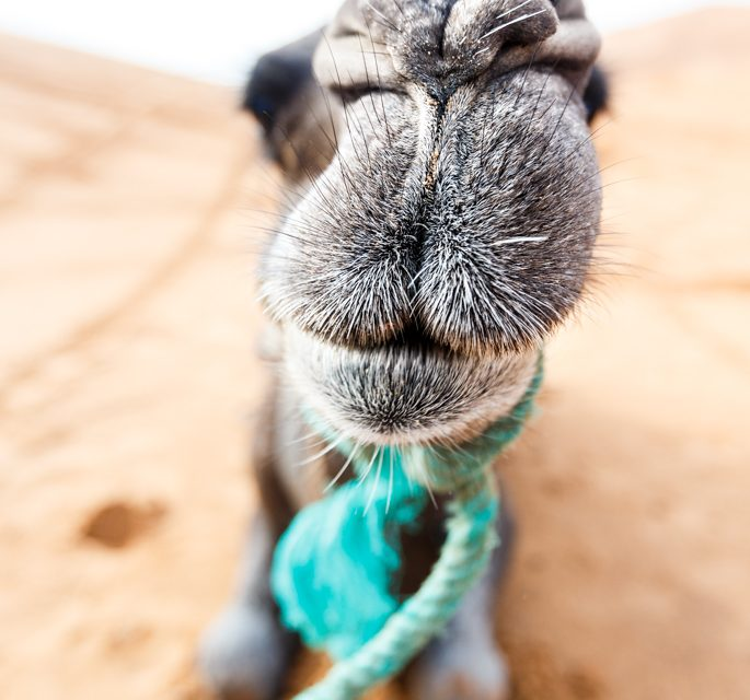 Camels are Funny
