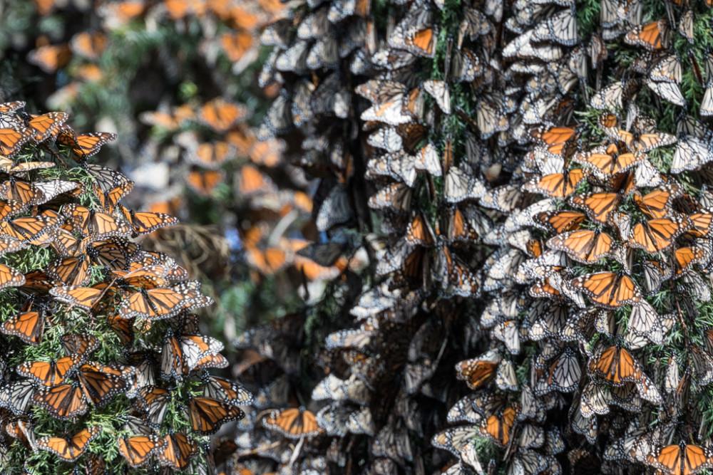 Monarch butterflies on Oyamel Fir Tree