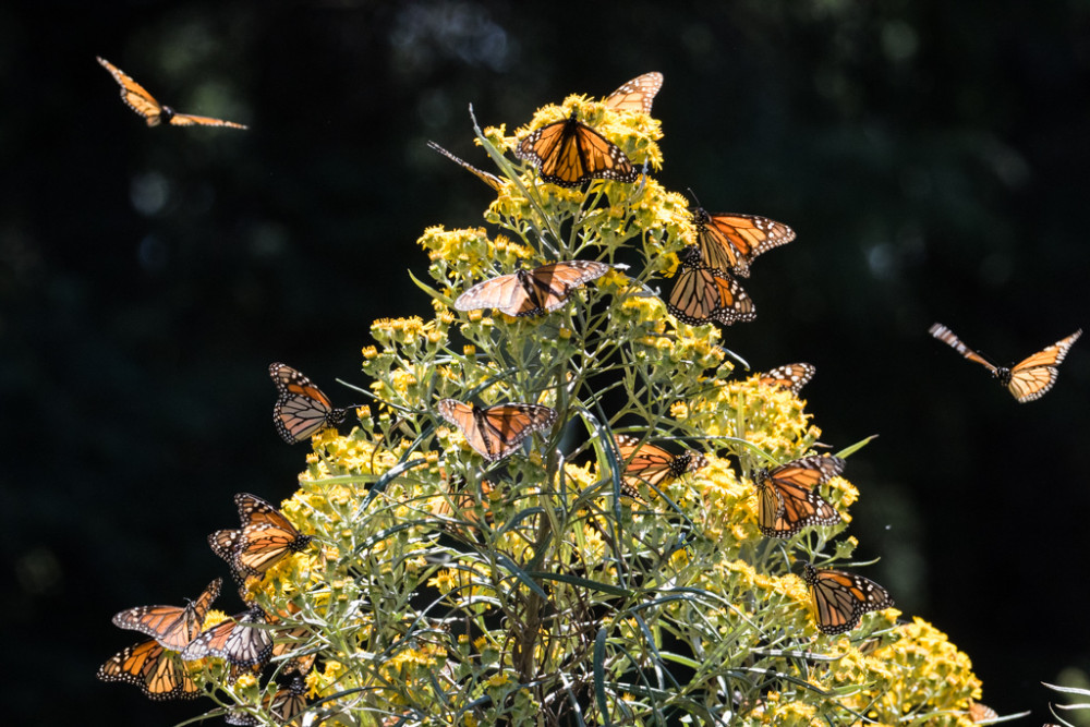 Monarch Butterflies on Wildflowers