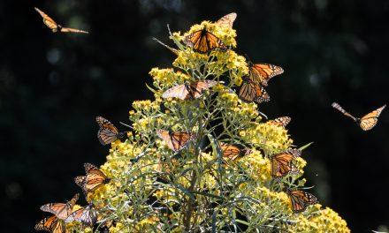 Backlit Monarchs