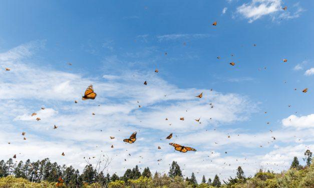 Monarch Flight