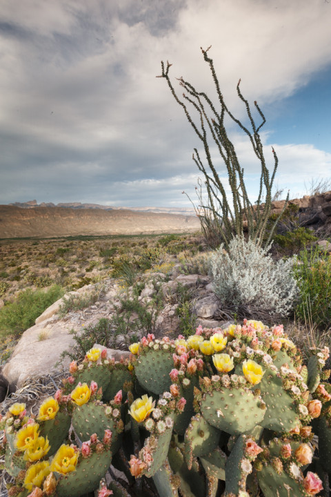 Prickly Pear and Ocotillo