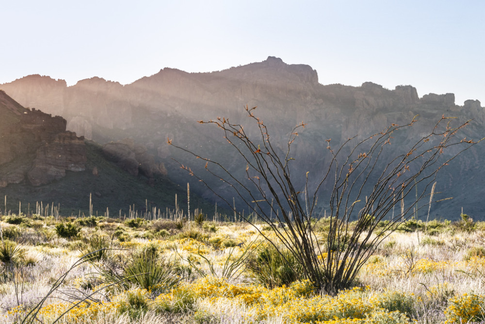Ocotillo and wildlflowers backlit by setting sun behind Chisos Mountains, Big Bend National Park, Texas, USA.