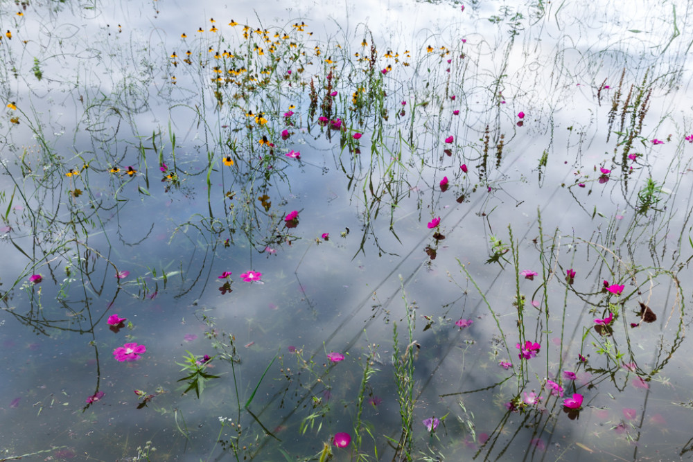 Submerged wildflowers along levee after Trinity River Flood, William Blair Park, Great Trinity Forest, Dallas, Texas, USA