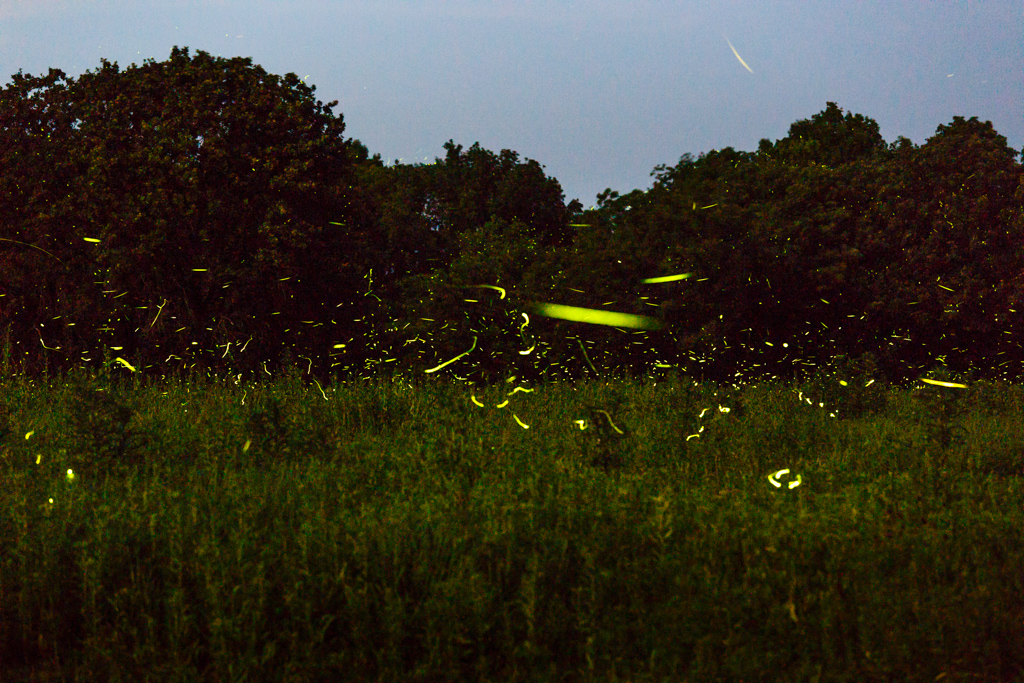 Fireflies at night, Tallgrass Prairie Preserve, Pawhuska, Oklahoma, USA.