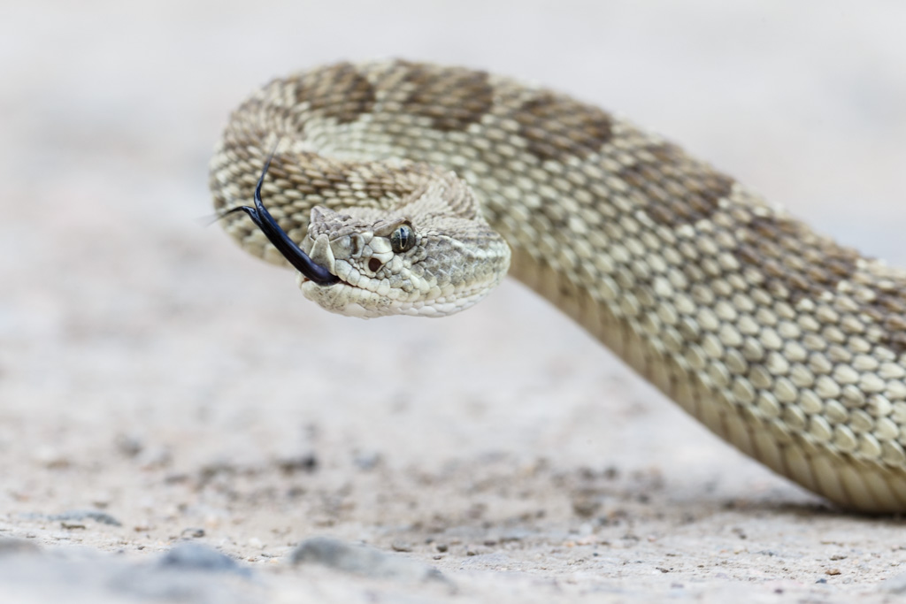 Prairie rattlesnake (Crotalus viridis) moving, with flicking gtongue. Vermejo Park Ranch, New Mexico, USA.