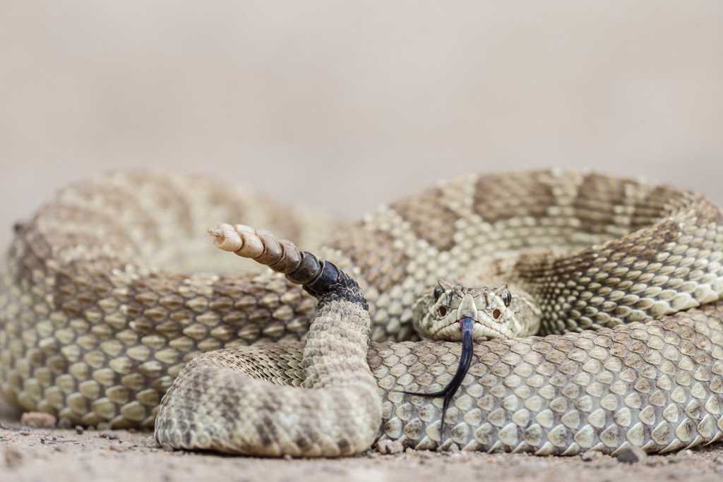 Coiled prairie rattlesnake (Crotalus viridis with flicking tongueg, Vermejo Park Ranch, New Mexico, USA.