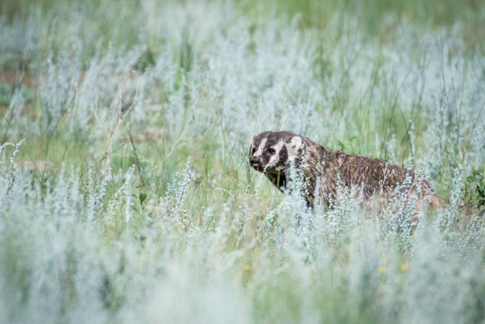 Badger, Vermejo Park Ranch, New Mexico, USA.