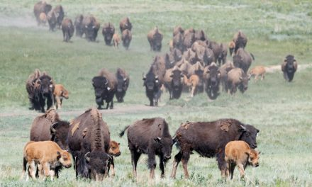 Ruminations on Bison, and Life