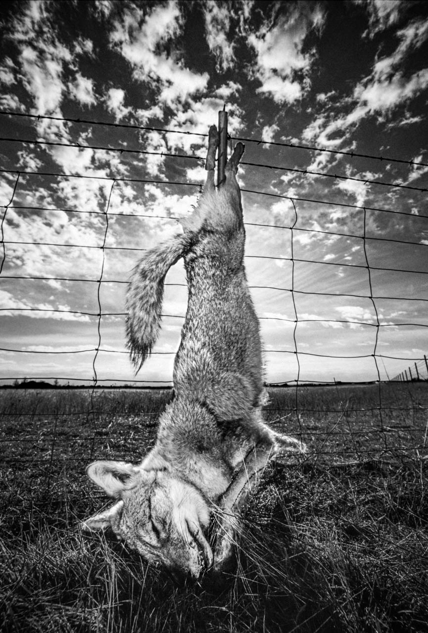 seanfitzgerald_coyote-on-fencepost-2.jpg