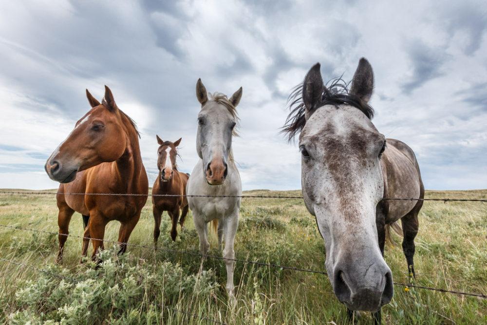 Horses at fence with windmill behind, Nebraska Sandhills, Nebraska, USA.