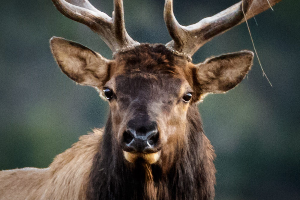 Bull elk (Cervus elaphus) during fall rut, Vermejo Park Ranch, New Mexico, USA.