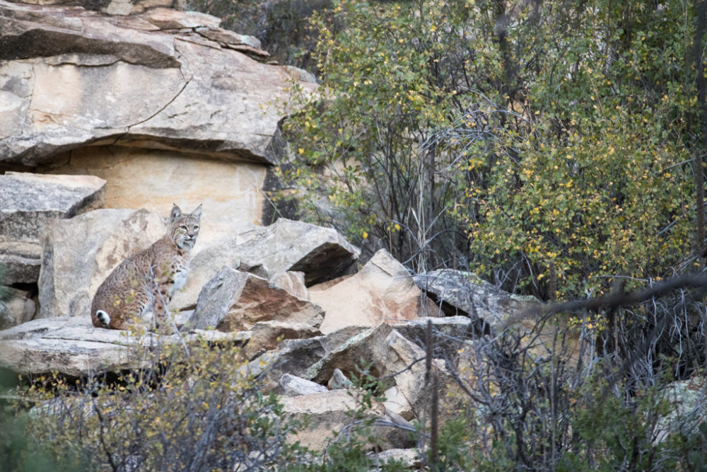 Bobcat camouflaged in cliffs, Vermejo Park Ranch, New Mexico, USA.