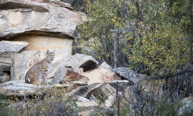 Camouflaged Bobcat