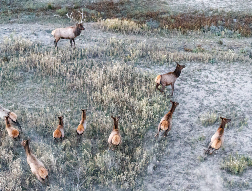 Aerial view of bull elk and harem of cow elk, Vermejo Park Ranch, New Mexico, USA.