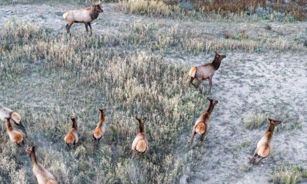 Aerial Elk Harem