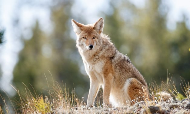 Mythic Coyote