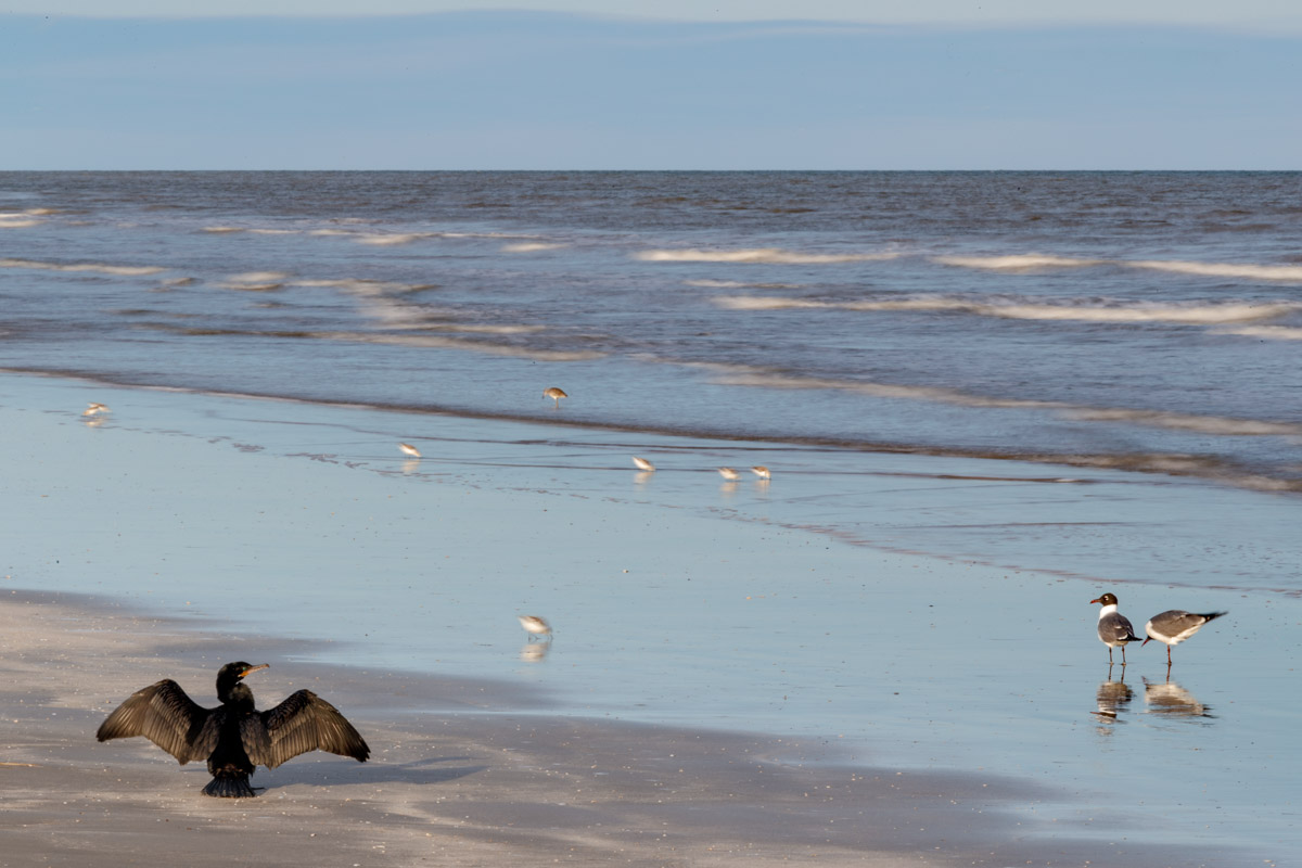 Cormorant and shore-birds on beach on Gulf of Mexico, Galveston Island State Park, Galveston, Texas, USA