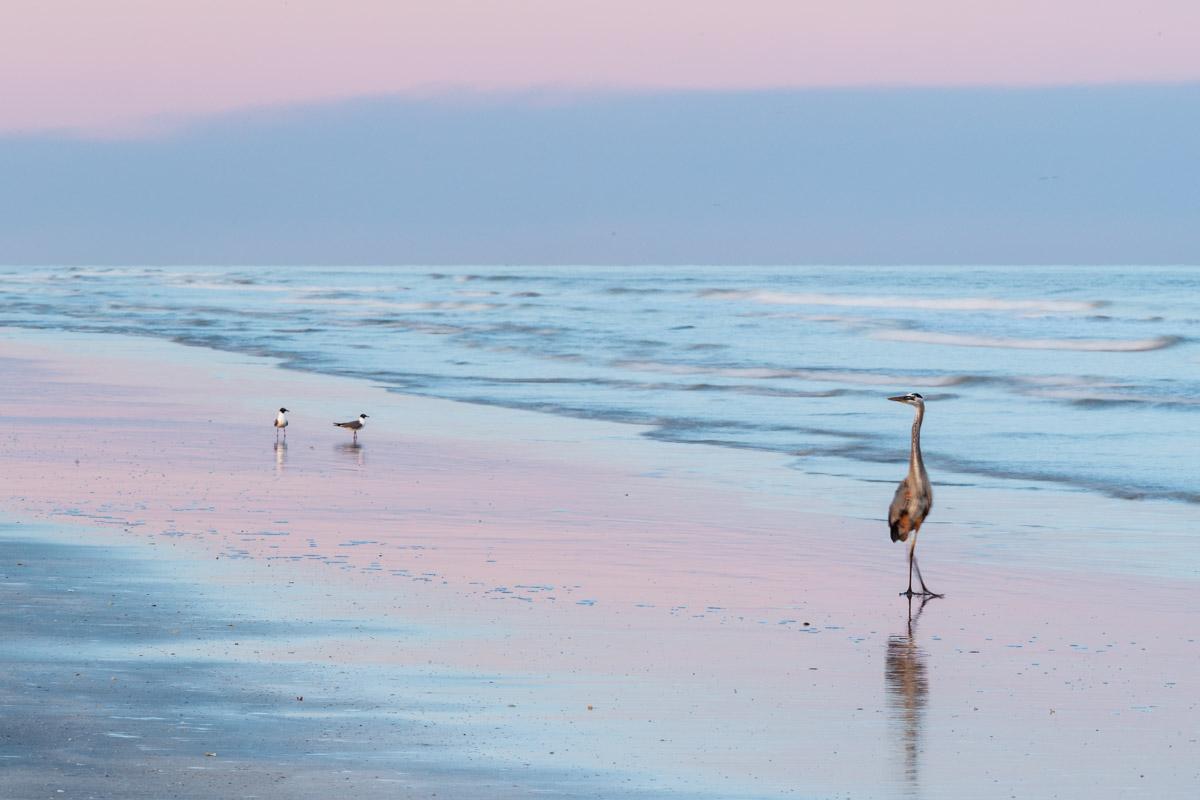 Great blue heron (Ardea herodias) on beach at pastel-colored sunset on Gulf of Mexico, Galveston Island State Park, Galveston, Texas, USA